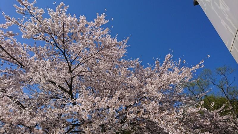 水の森の桜