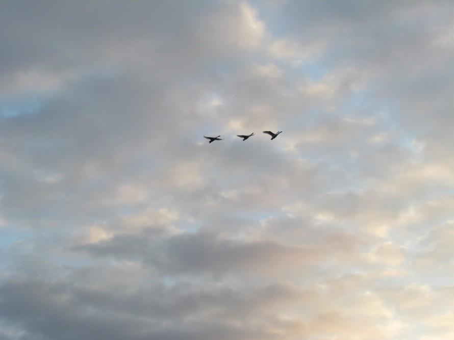 白鳥 飛翔